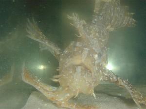 sargassum-fish-2
